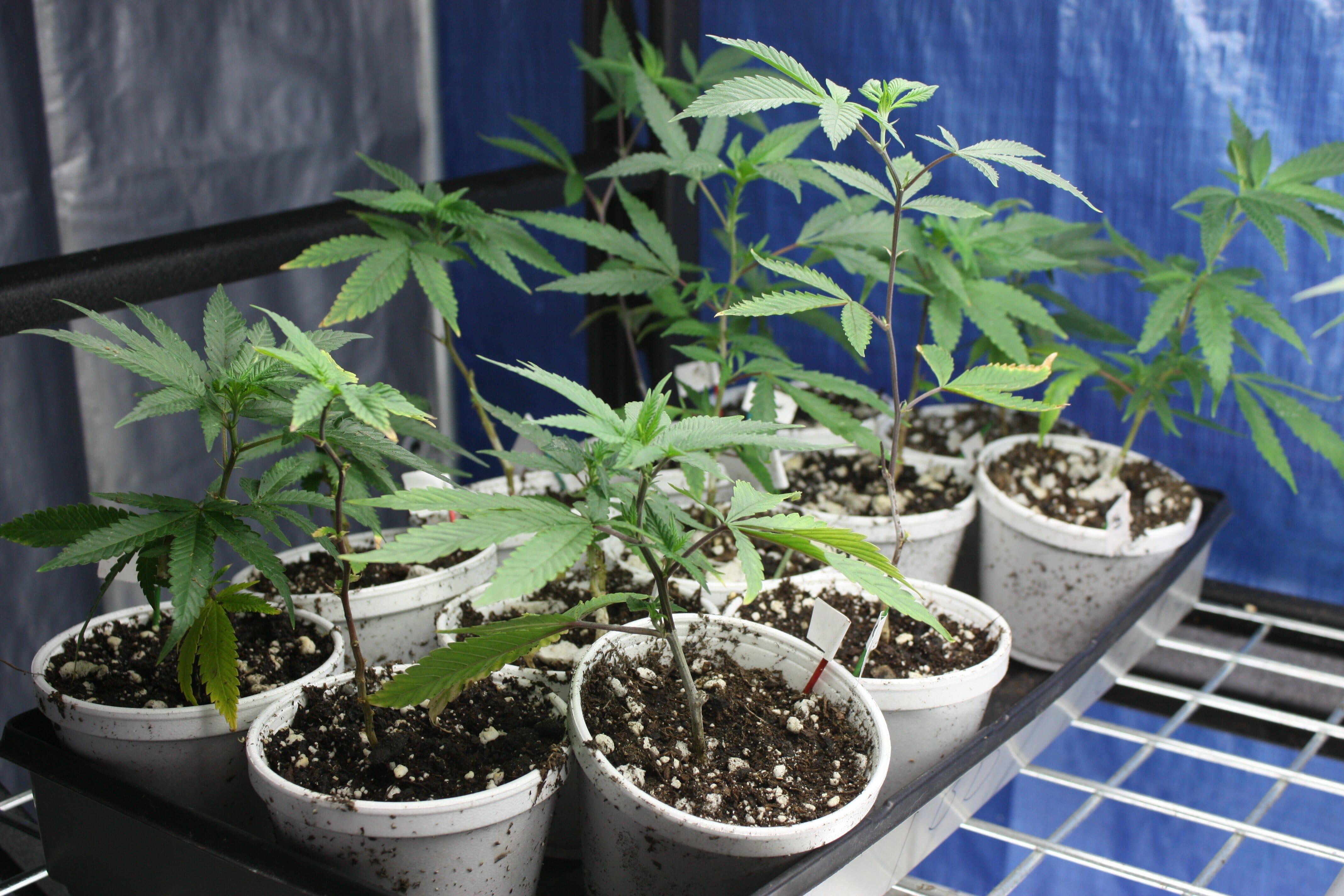 growing hemp at home