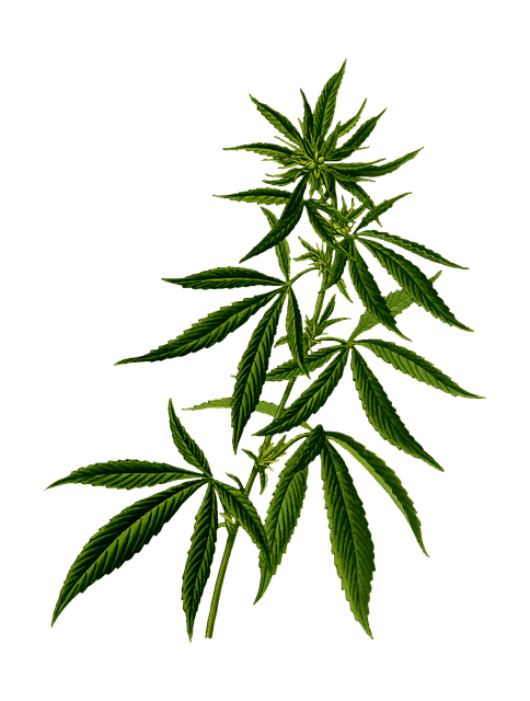 hemp plant drawing